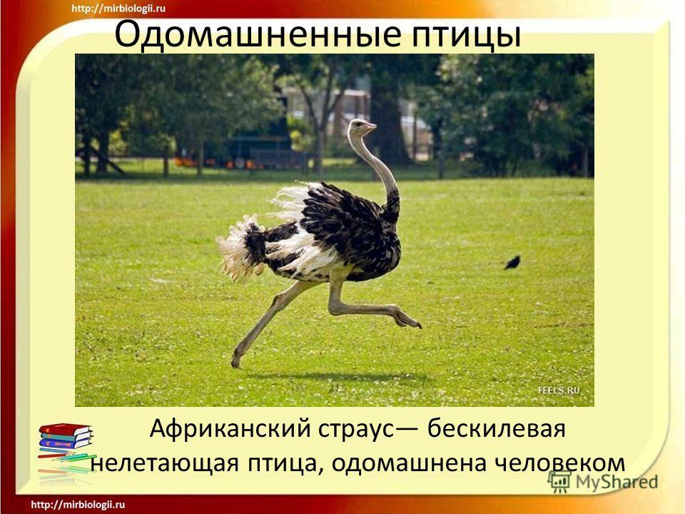Африканский страус бескилевая нелетающая птица, одомашнена человеком