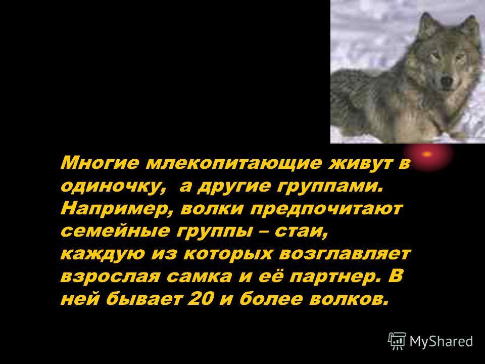 Многие млекопитающие живут в одиночку, а другие группами. Например, волки предпочитают семейные группы – стаи, каждую из которых возглавляет взрослая самка и её партнер. В ней бывает 20 и более волков.