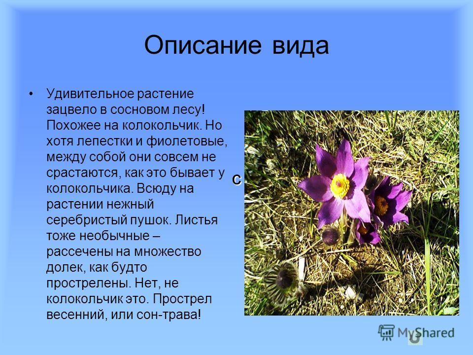 Описание вида Удивительное растение зацвело в сосновом лесу! Похожее на колокольчик. Но хотя лепестки и фиолетовые, между собой они совсем не срастаются, как это бывает у колокольчика. Всюду на растении нежный серебристый пушок. Листья тоже необычные