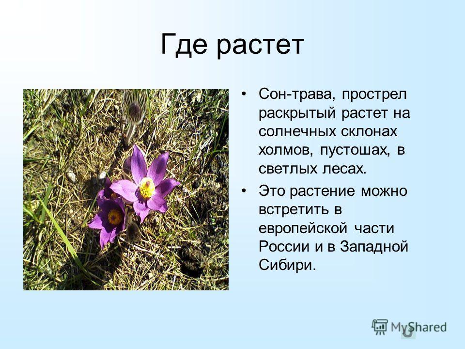 Где растет Сон-трава, прострел раскрытый растет на солнечных склонах холмов, пустошах, в светлых лесах. Это растение можно встретить в европейской части России и в Западной Сибири.
