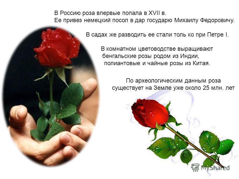В Россию роза впервые попала в XVII в. Ее привез немецкий посол в дар государю Михаилу Федоровичу. В садах же разводить ее стали толь ко при Петре I. В комнатном цветоводстве выращивают бенгальские розы родом из Индии, полиантовые и чайные розы из Ки