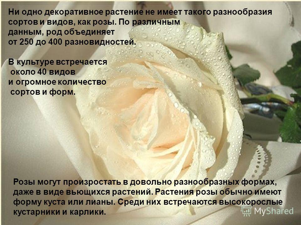 Ни одно декоративное растение не имеет такого разнообразия сортов и видов, как розы. По различным данным, род объединяет от 250 до 400 разновидностей. В культуре встречается около 40 видов и огромное количество сортов и форм. Розы могут произростать