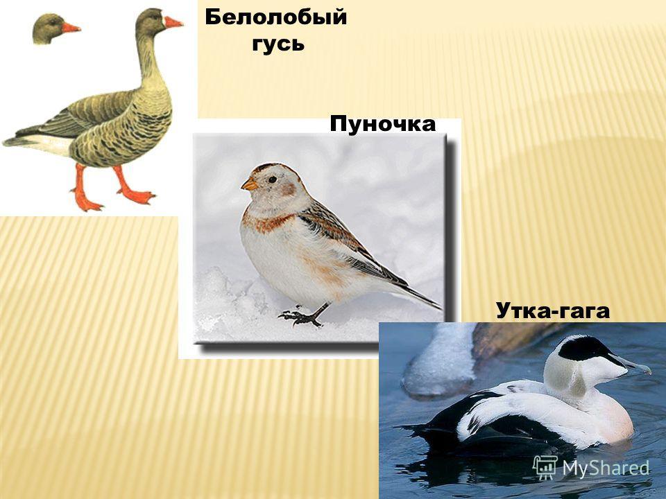 Белолобый гусь Пуночка Утка-гага