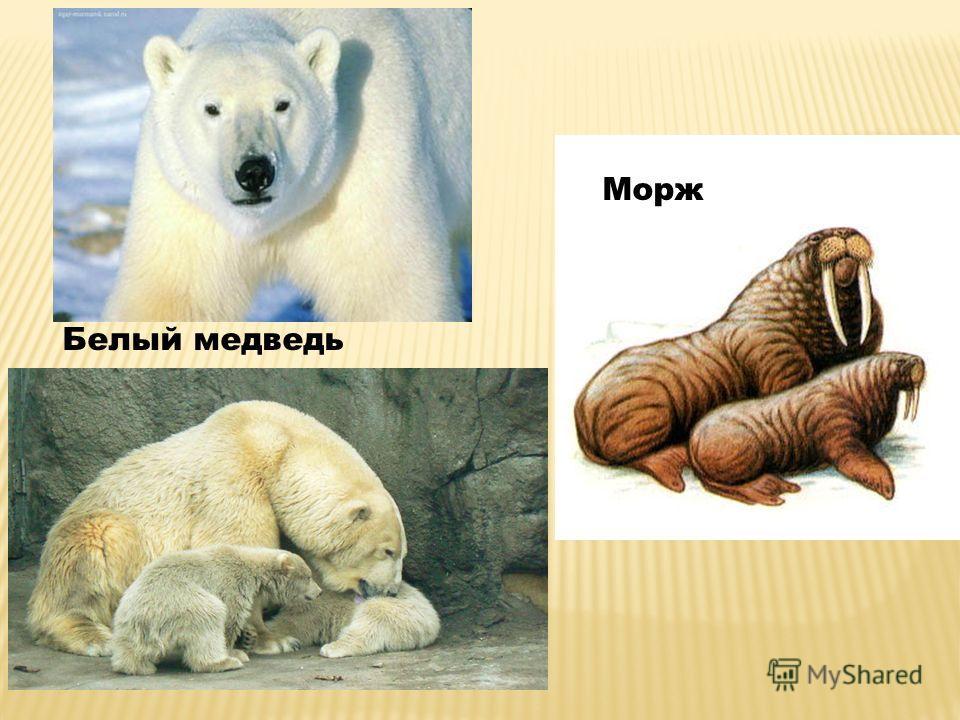 Белый медведь Морж