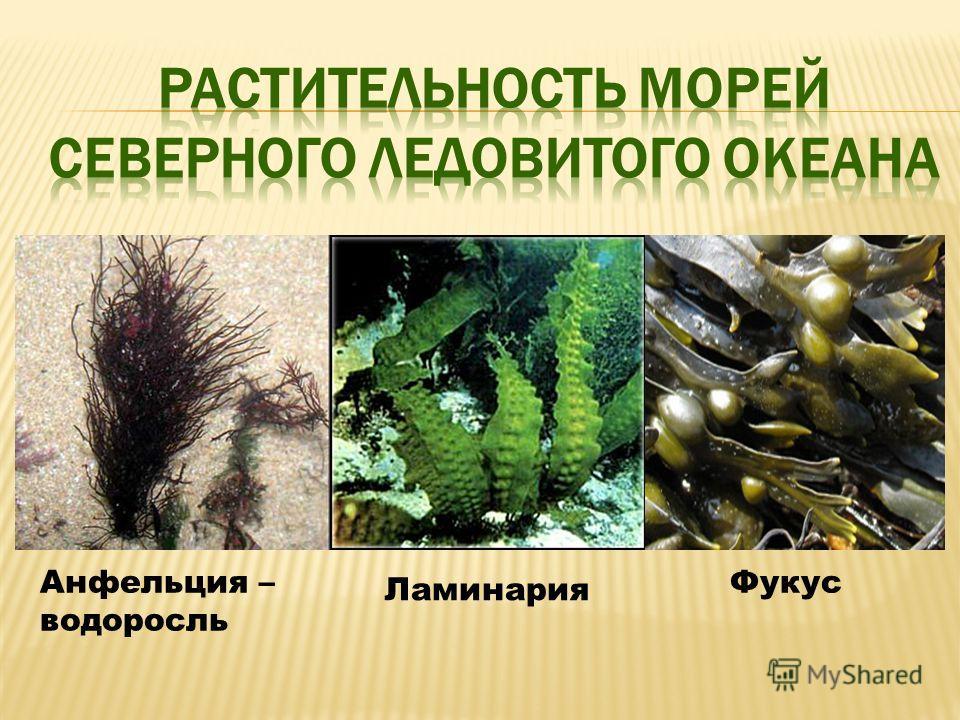Анфельция – водоросль Ламинария Фукус