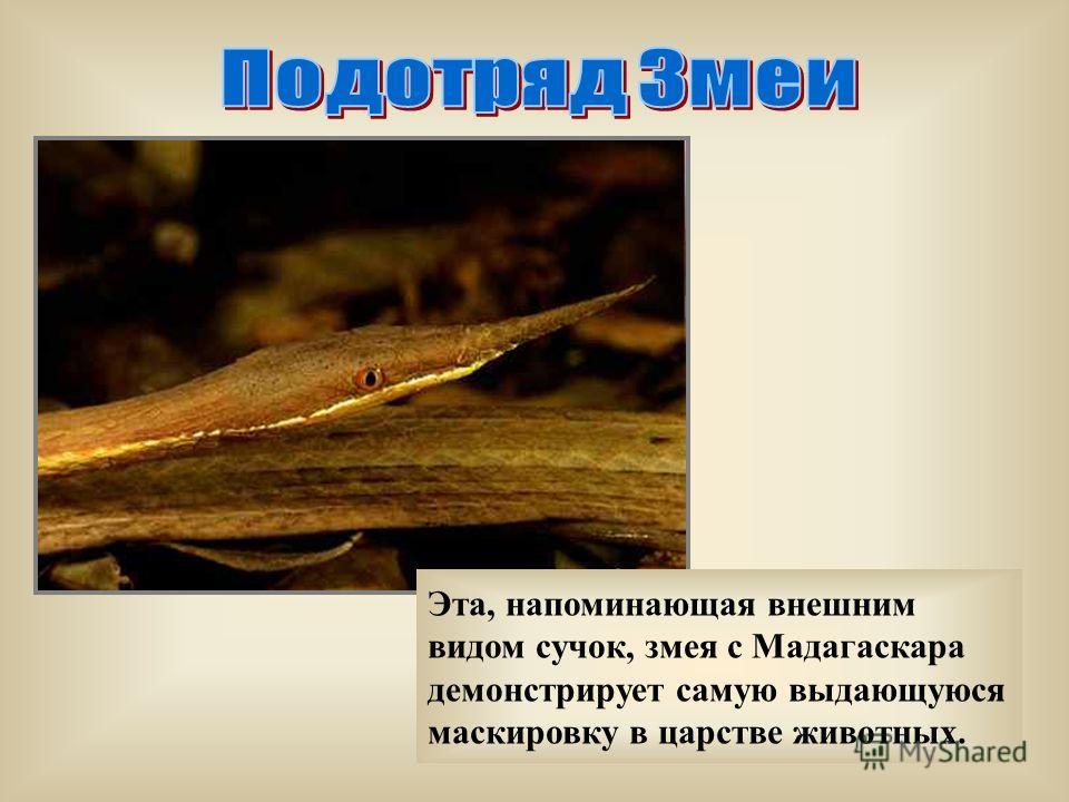 Эта, напоминающая внешним видом сучок, змея с Мадагаскара демонстрирует самую выдающуюся маскировку в царстве животных.