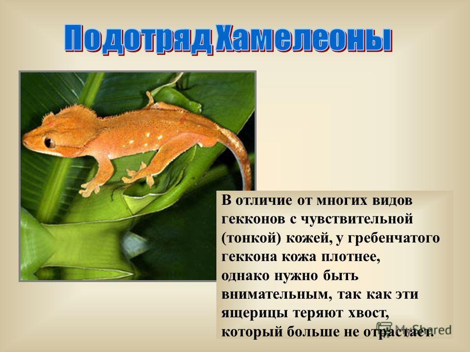 В отличие от многих видов гекконов с чувствительной (тонкой) кожей, у гребенчатого геккона кожа плотнее, однако нужно быть внимательным, так как эти ящерицы теряют хвост, который больше не отрастает.