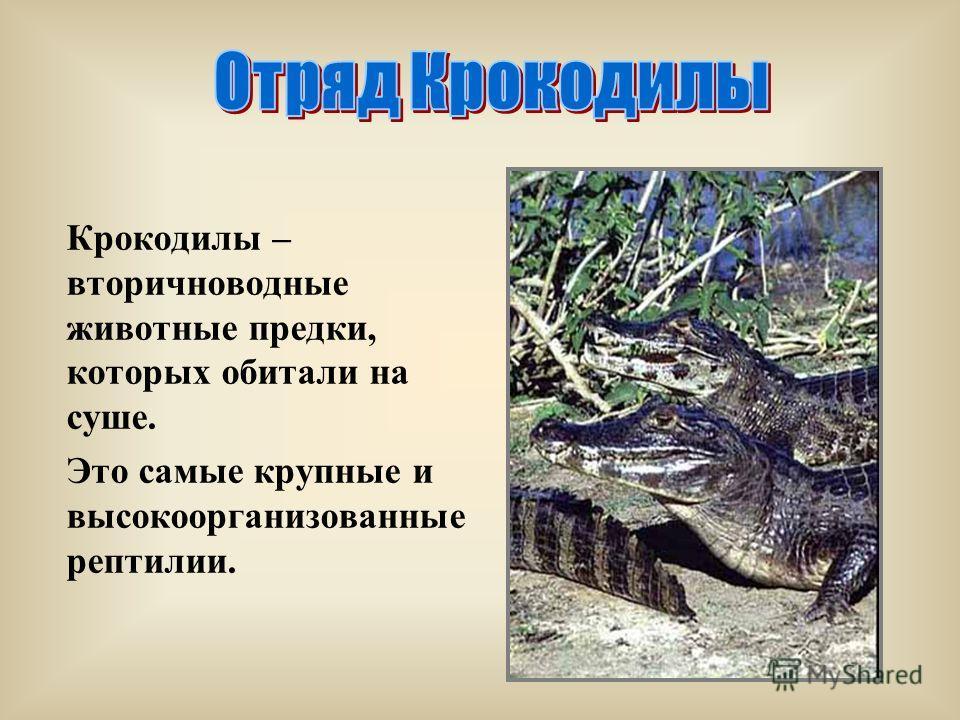 Крокодилы – вторичноводные животные предки, которых обитали на суше. Это самые крупные и высокоорганизованные рептилии.
