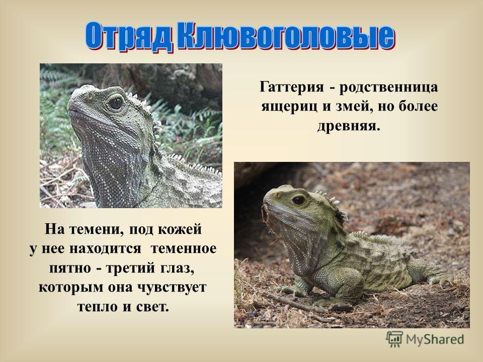 На темени, под кожей у нее находится теменное пятно - третий глаз, которым она чувствует тепло и свет. Гаттерия - родственница ящериц и змей, но более древняя.
