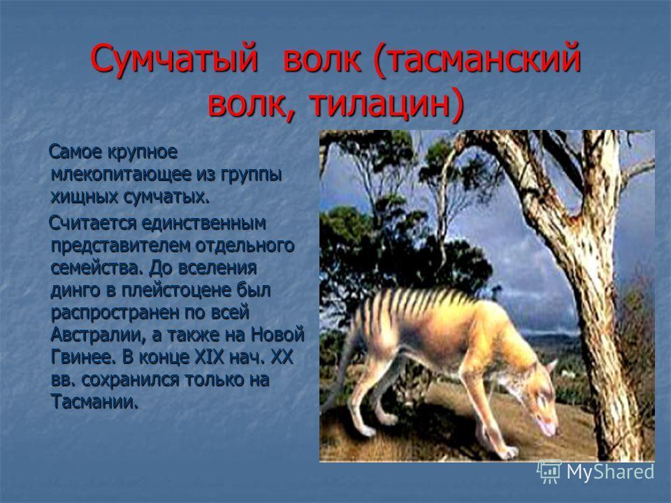 Cумчатый волк (тасманский волк, тилацин) Самое крупное млекопитающее из группы хищных сумчатых. Самое крупное млекопитающее из группы хищных сумчатых. Считается единственным представителем отдельного семейства. До вселения динго в плейстоцене был рас