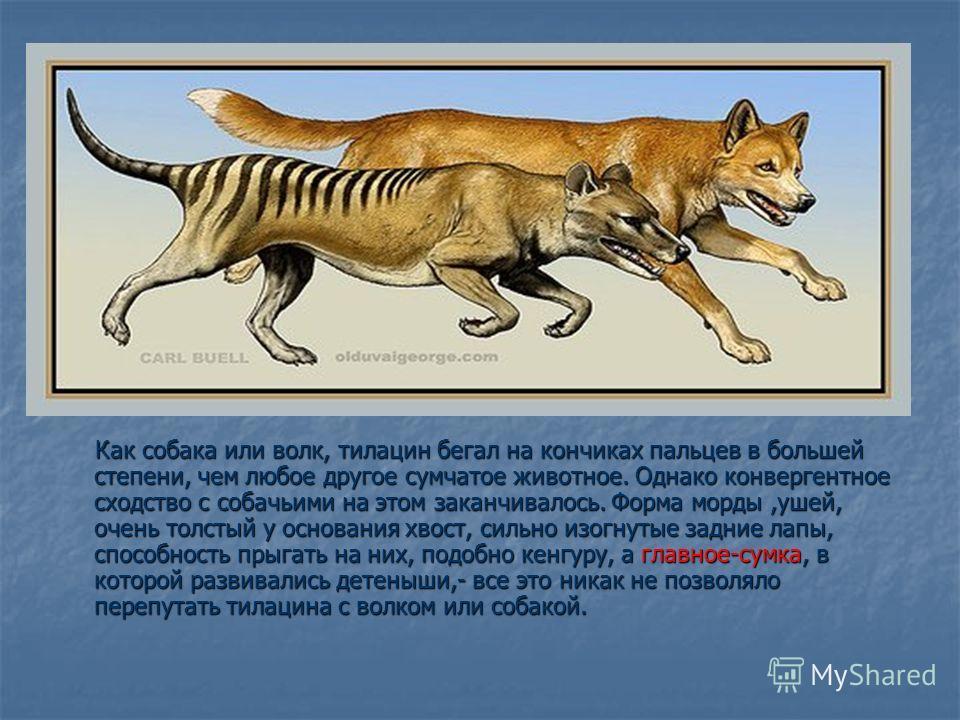 Как собака или волк, тилацин бегал на кончиках пальцев в большей степени, чем любое другое сумчатое животное. Однако конвергентное сходство с собачьими на этом заканчивалось. Форма морды,ушей, очень толстый у основания хвост, сильно изогнутые задние