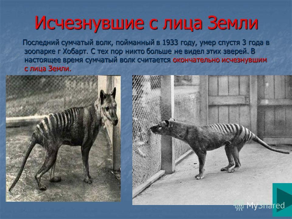 Исчезнувшие с лица Земли Последний сумчатый волк, пойманный в 1933 году, умер спустя 3 года в зоопарке г Хобарт. С тех пор никто больше не видел этих зверей. В настоящее время сумчатый волк считается окончательно исчезнувшим с лица Земли. Последний с