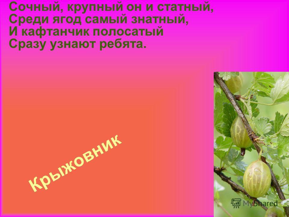 Крыжовник Сочный, крупный он и статный, Среди ягод самый знатный, И кафтанчик полосатый Сразу узнают ребята.