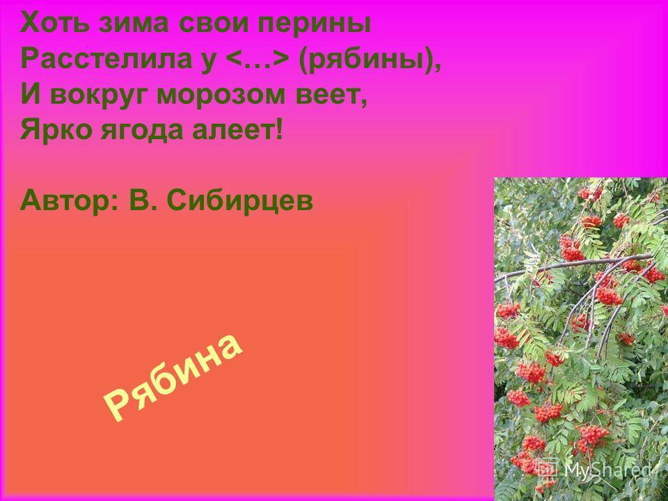 Рябина Хоть зима свои перины Расстелила у  (рябины), И вокруг морозом веет, Ярко ягода алеет! Автор: В. Сибирцев