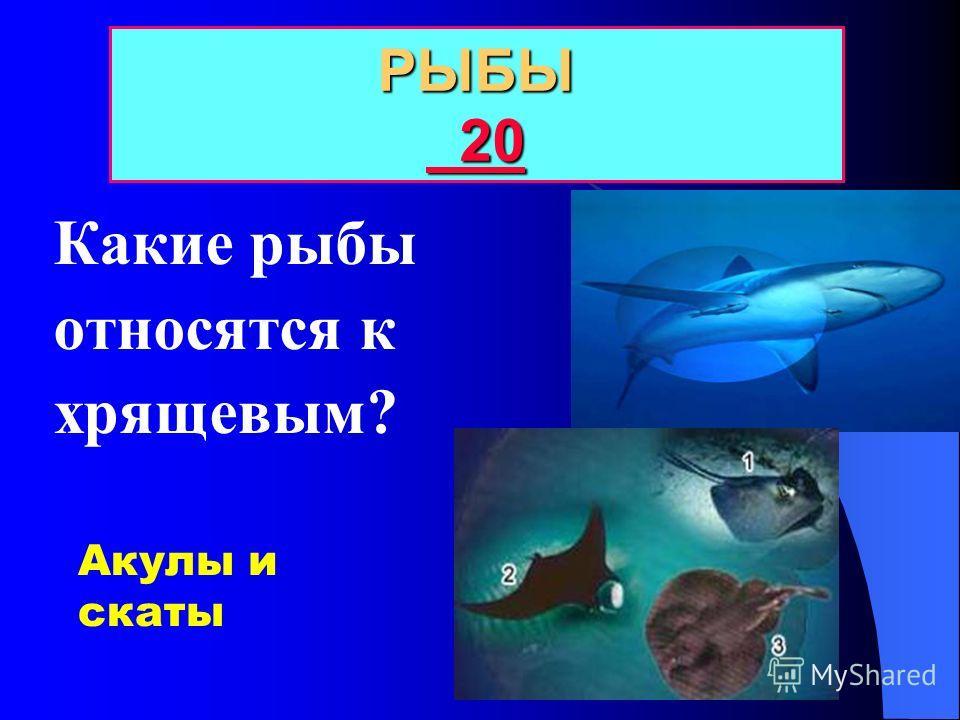 БЛАГОДАРЯ КАКОМУ ОРГАНУ РЫБЫ ДЫШУТ В ВОДЕ? Рыбы 10 10 10 ЖАБРЫ