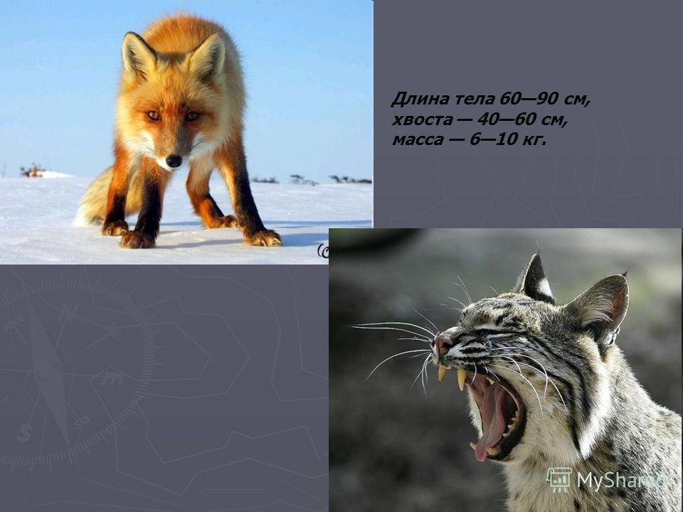 Длина тела 6090 см, хвоста 4060 см, масса 610 кг.