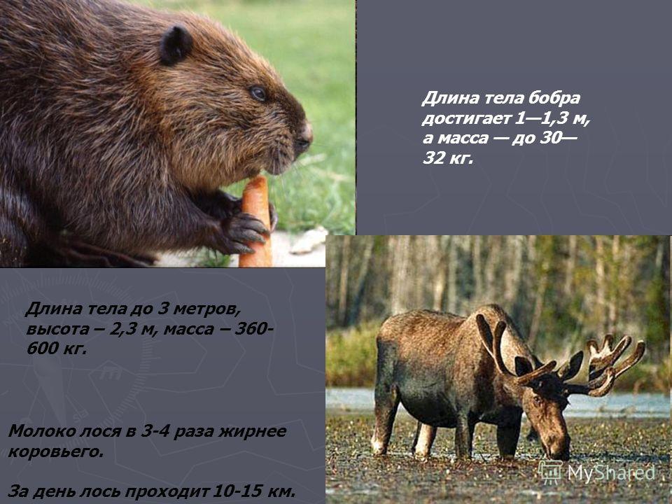 Длина тела до 3 метров, высота – 2,3 м, масса – 360- 600 кг. Молоко лося в 3-4 раза жирнее коровьего. За день лось проходит 10-15 км. Длина тела бобра достигает 11,3 м, а масса до 30 32 кг.