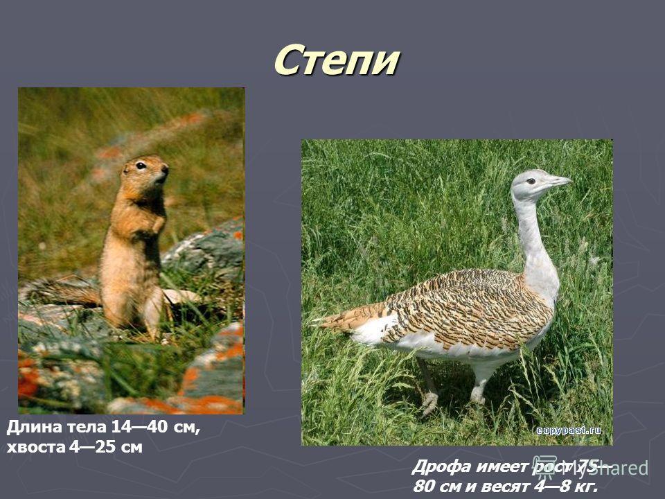 Степи Длина тела 1440 см, хвоста 425 см Дрофа имеет рост 75 80 см и весят 48 кг.