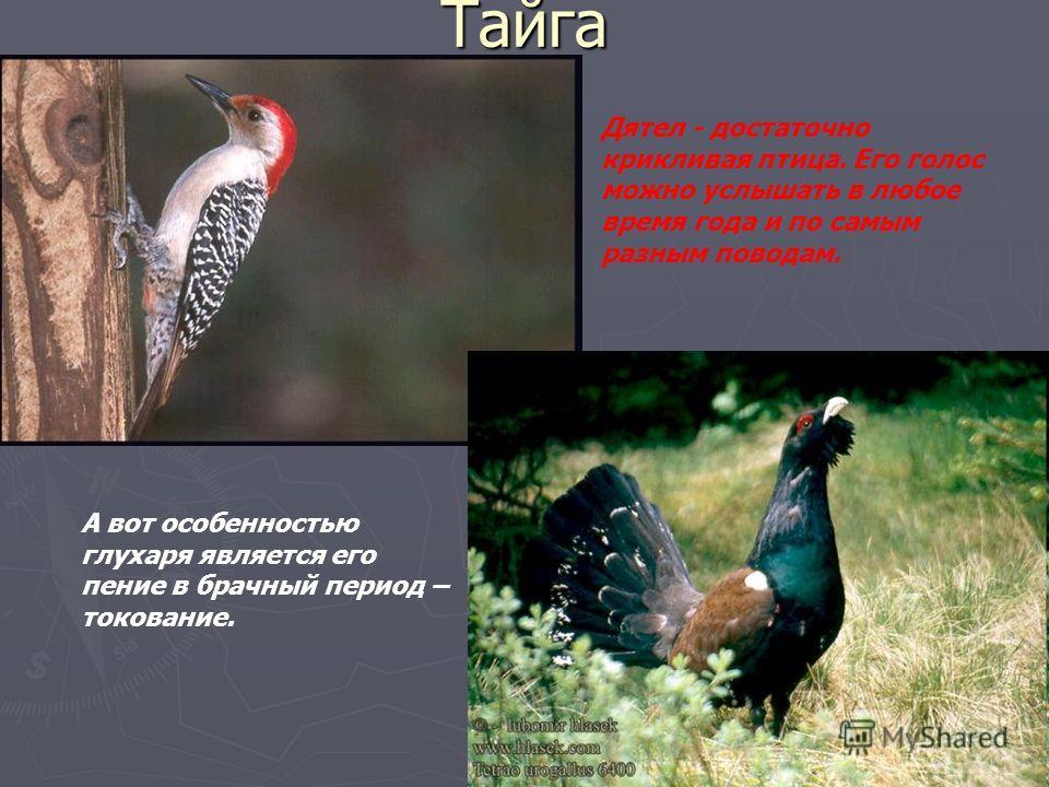 Тайга Дятел - достаточно крикливая птица. Его голос можно услышать в любое время года и по самым разным поводам. А вот особенностью глухаря является его пение в брачный период – токование.