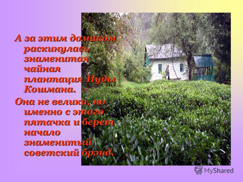 А за этим домиком раскинулась знаменитая чайная плантация Иуды Кошмана. Она не велика, но именно с этого пятачка и берет начало знаменитый советский брэнд.
