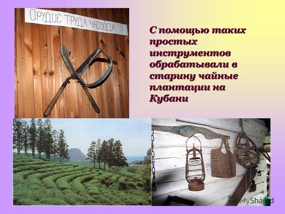 С помощью таких простых инструментов обрабатывали в старину чайные плантации на Кубани
