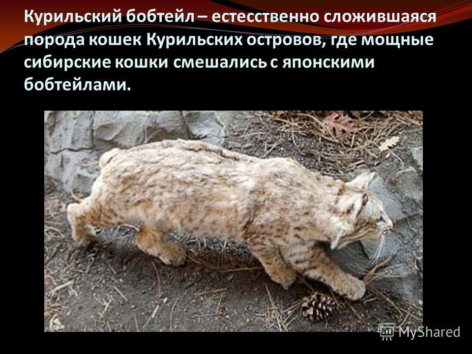 Курильский бобтейл – естесственно сложившаяся порода кошек Курильских островов, где мощные сибирские кошки смешались с японскими бобтейлами.
