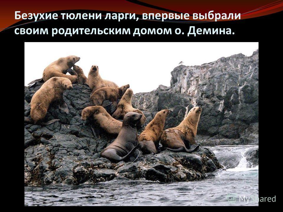 Безухие тюлени ларги, впервые выбрали своим родительским домом о. Демина.