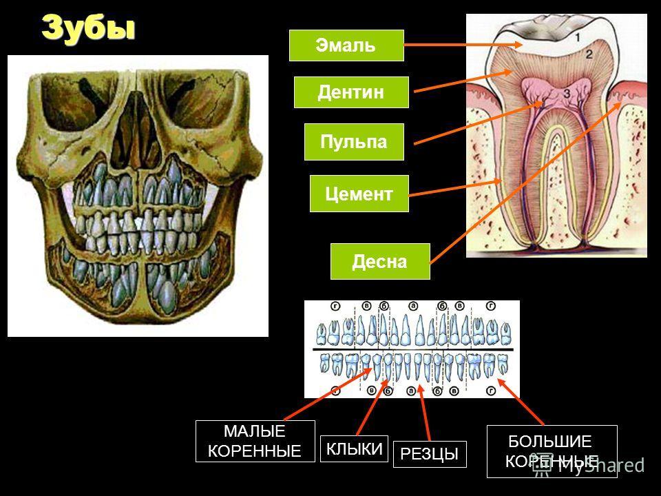 Зубы Эмаль Дентин Пульпа Цемент Десна РЕЗЦЫ КЛЫКИ МАЛЫЕ КОРЕННЫЕ БОЛЬШИЕ КОРЕННЫЕ