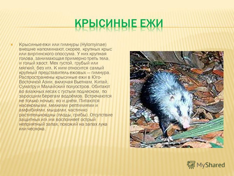 Крысиные ежи или гимнуры (Hylomyinae) внешне напоминают, скорее, крупных крыс или виргинского опоссума. У них крупная голова, занимающая примерно треть тела, и голый хвост. Мех густой, грубый или мягкий, без игл. К ним относится самый крупный предста
