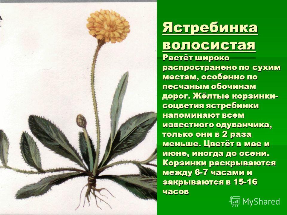 Ястребинка волосистая Растёт широко распространено по сухим местам, особенно по песчаным обочинам дорог. Жёлтые корзинки- соцветия ястребинки напоминают всем известного одуванчика, только они в 2 раза меньше. Цветёт в мае и июне, иногда до осени. Кор