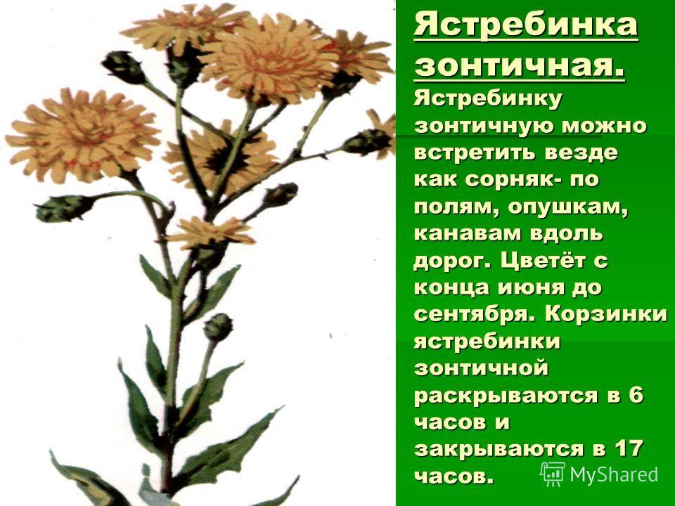 Ястребинка зонтичная. Ястребинку зонтичную можно встретить везде как сорняк- по полям, опушкам, канавам вдоль дорог. Цветёт с конца июня до сентября. Корзинки ястребинки зонтичной раскрываются в 6 часов и закрываются в 17 часов.