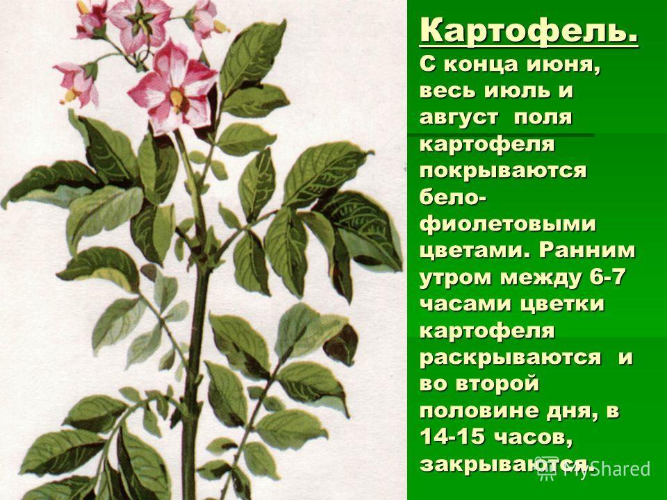 Картофель. С конца июня, весь июль и август поля картофеля покрываются бело- фиолетовыми цветами. Ранним утром между 6-7 часами цветки картофеля раскрываются и во второй половине дня, в 14-15 часов, закрываются.