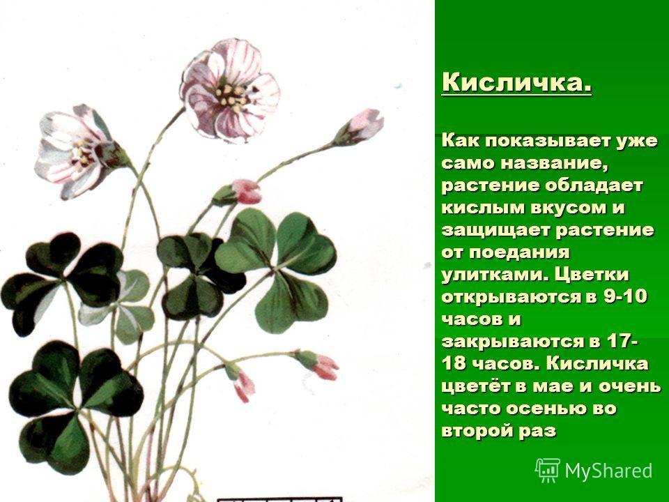 Кисличка. Как показывает уже само название, растение обладает кислым вкусом и защищает растение от поедания улитками. Цветки открываются в 9-10 часов и закрываются в 17- 18 часов. Кисличка цветёт в мае и очень часто осенью во второй раз