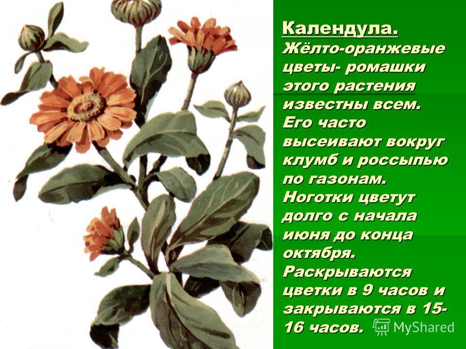 Календула. Жёлто-оранжевые цветы- ромашки этого растения известны всем. Его часто высеивают вокруг клумб и россыпью по газонам. Ноготки цветут долго с начала июня до конца октября. Раскрываются цветки в 9 часов и закрываются в 15- 16 часов.
