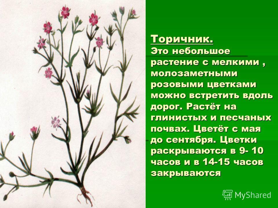 Торичник. Это небольшое растение с мелкими, молозаметными розовыми цветками можно встретить вдоль дорог. Растёт на глинистых и песчаных почвах. Цветёт с мая до сентября. Цветки раскрываются в 9- 10 часов и в 14-15 часов закрываются