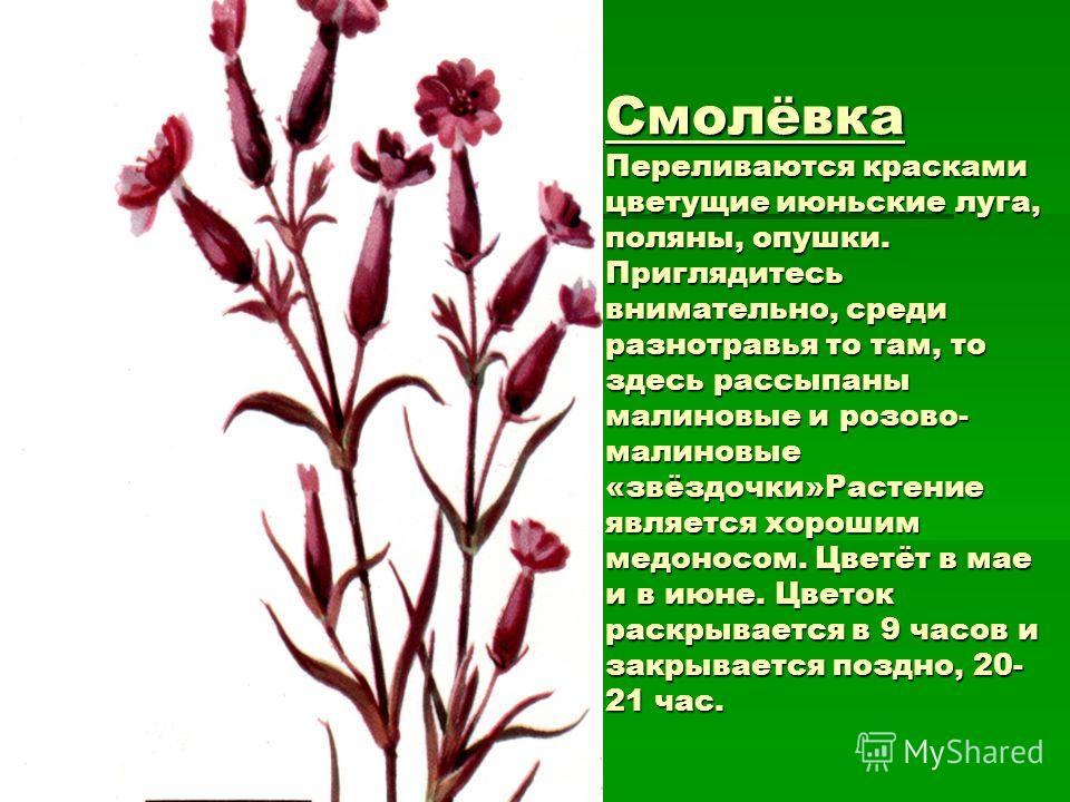 Смолёвка Переливаются красками цветущие июньские луга, поляны, опушки. Приглядитесь внимательно, среди разнотравья то там, то здесь рассыпаны малиновые и розово- малиновые «звёздочки»Растение является хорошим медоносом. Цветёт в мае и в июне. Цветок