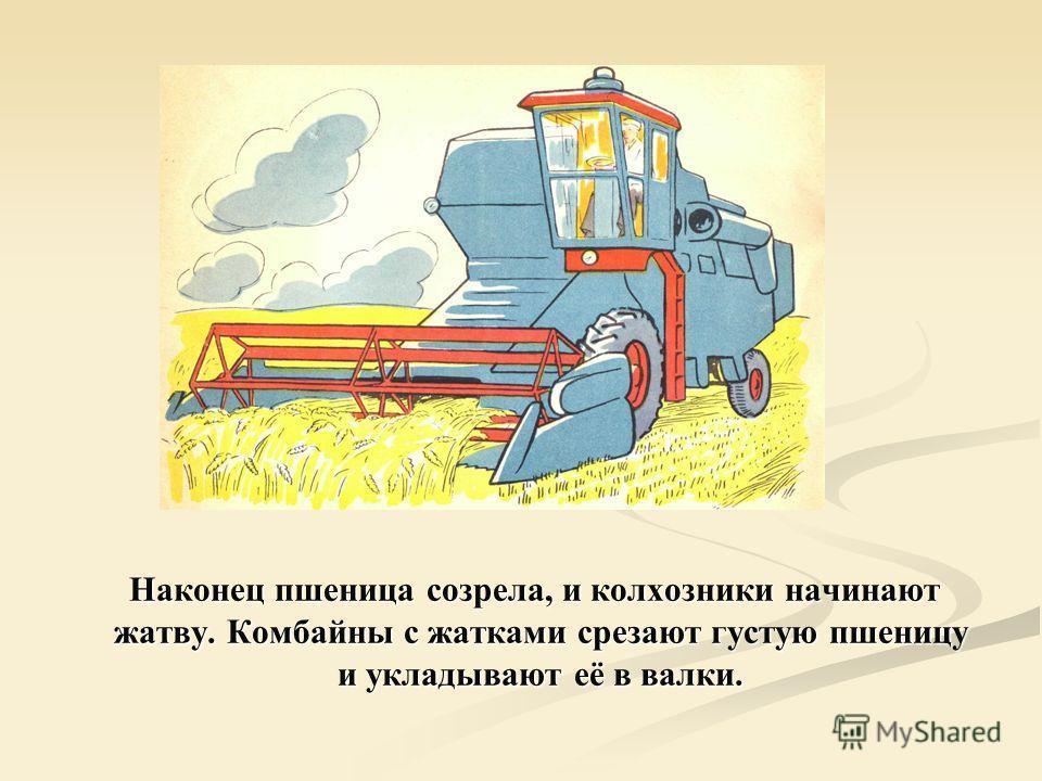 Наконец пшеница созрела, и колхозники начинают жатву. Комбайны с жатками срезают густую пшеницу и укладывают её в валки.