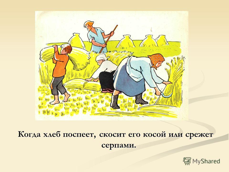 Когда хлеб поспеет, скосит его косой или срежет серпами.