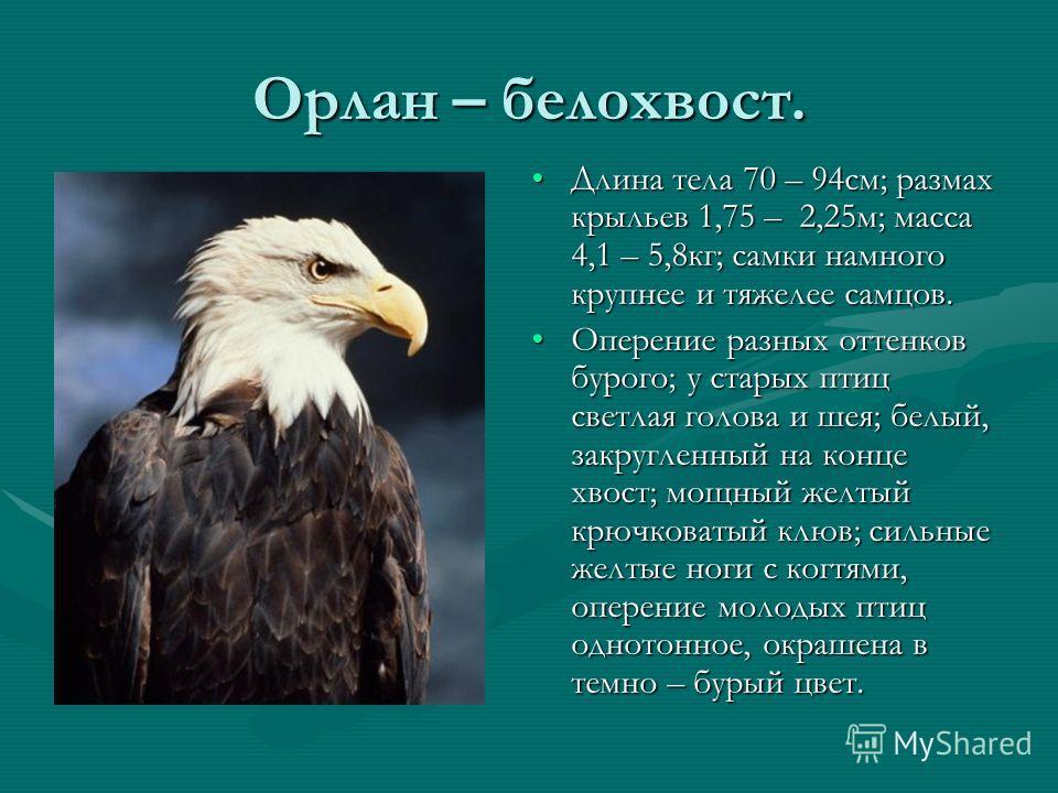 Орлан – белохвост. Длина тела 70 – 94см; размах крыльев 1,75 – 2,25м; масса 4,1 – 5,8кг; самки намного крупнее и тяжелее самцов. Оперение разных оттенков бурого; у старых птиц светлая голова и шея; белый, закругленный на конце хвост; мощный желтый кр