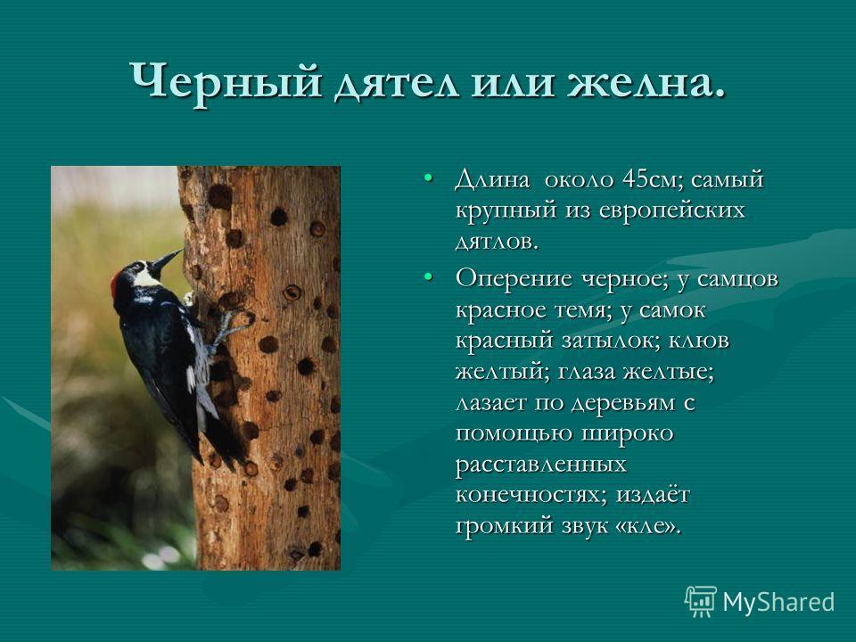 Черный дятел или желна. Длина около 45см; самый крупный из европейских дятлов. Оперение черное; у самцов красное темя; у самок красный затылок; клюв желтый; глаза желтые; лазает по деревьям с помощью широко расставленных конечностях; издаёт громкий з