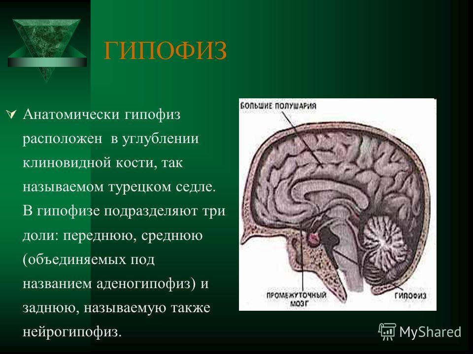 ГИПОФИЗ Анатомически гипофиз расположен в углублении клиновидной кости, так называемом турецком седле. В гипофизе подразделяют три доли: переднюю, среднюю (объединяемых под названием аденогипофиз) и заднюю, называемую также нейрогипофиз.