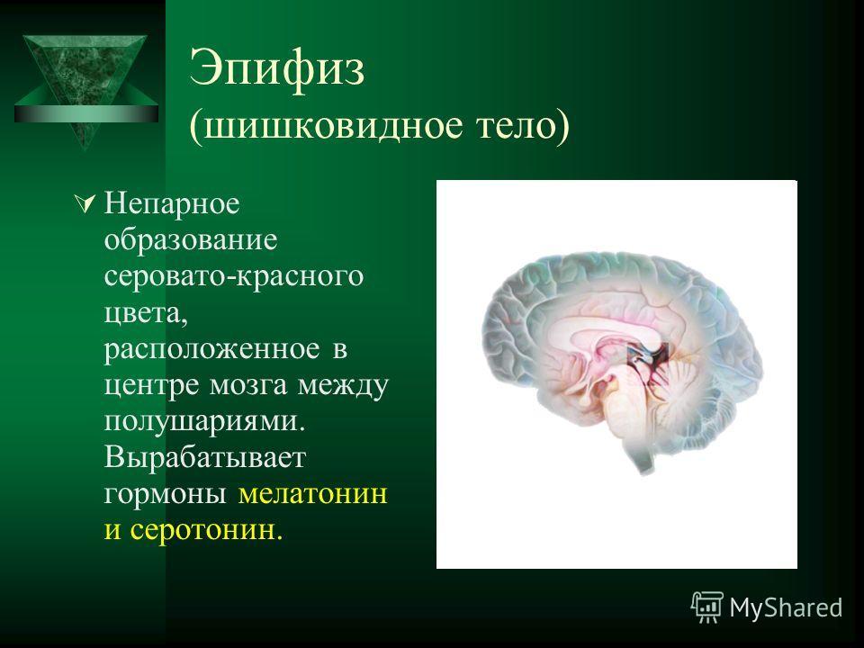 Эпифиз (шишковидное тело) Непарное образование серовато-красного цвета, расположенное в центре мозга между полушариями. Вырабатывает гормоны мелатонин и серотонин.