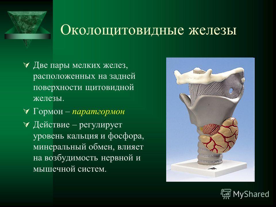 Околощитовидные железы Две пары мелких желез, расположенных на задней поверхности щитовидной железы. Гормон – паратгормон Действие – регулирует уровень кальция и фосфора, минеральный обмен, влияет на возбудимость нервной и мышечной систем.