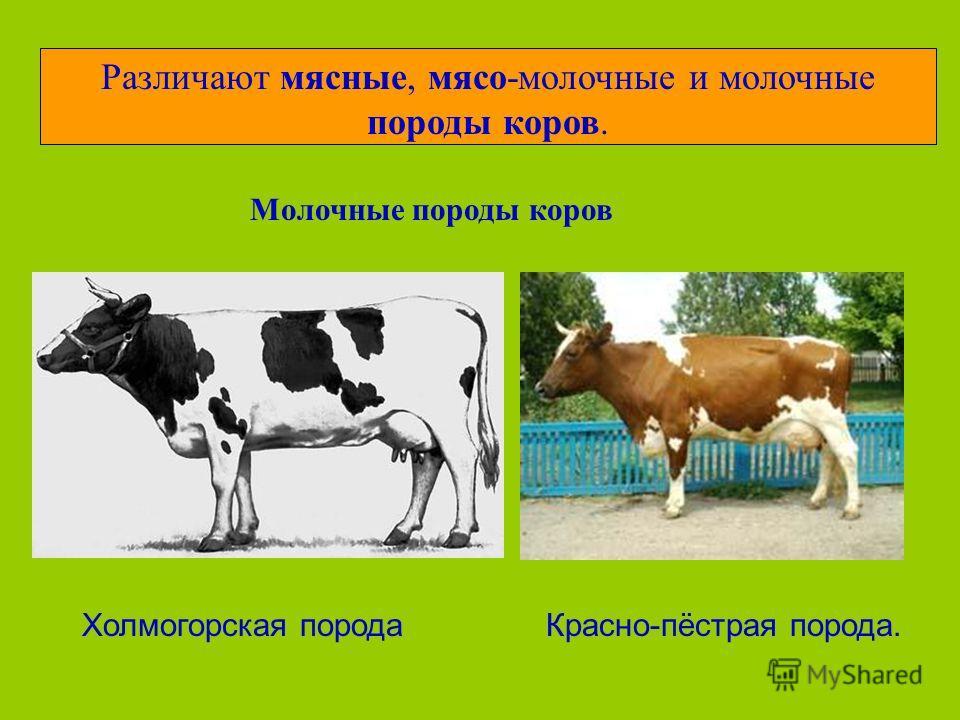 Различают мясные, мясо-молочные и молочные породы коров. Молочные породы коров Холмогорская породаКрасно-пёстрая порода.
