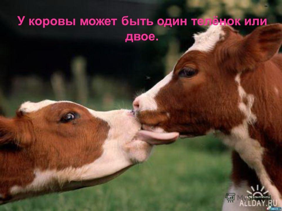 У коровы может быть один телёнок или двое.