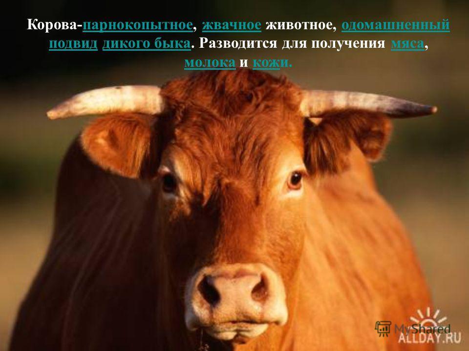Корова-парнокопытное, жвачное животное, одомашненный подвид дикого быка. Разводится для получения мяса, молока и кожи.парнокопытноежвачноеодомашненный подвиддикого быкамяса молокакож