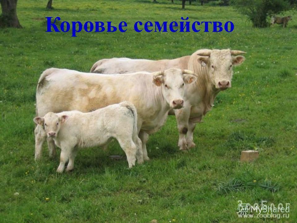 Коровье семейство