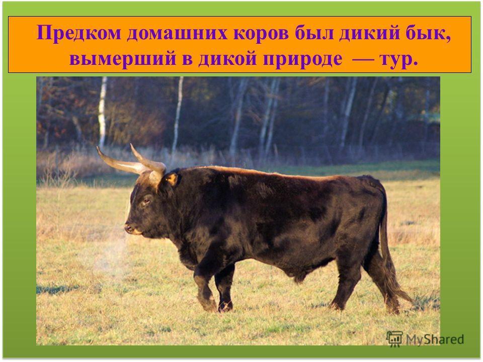 Предком домашних коров был дикий бык, вымерший в дикой природе тур.