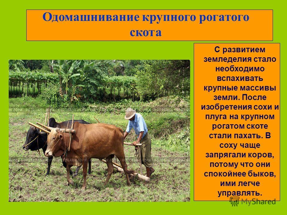 Одомашнивание крупного рогатого скота С развитием земледелия стало необходимо вспахивать крупные массивы земли. После изобретения сохи и плуга на крупном рогатом скоте стали пахать. В соху чаще запрягали коров, потому что они спокойнее быков, ими лег