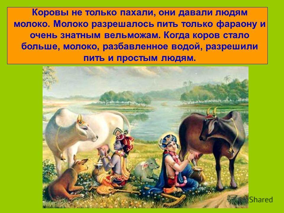 Коровы не только пахали, они давали людям молоко. Молоко разрешалось пить только фараону и очень знатным вельможам. Когда коров стало больше, молоко, разбавленное водой, разрешили пить и простым людям.